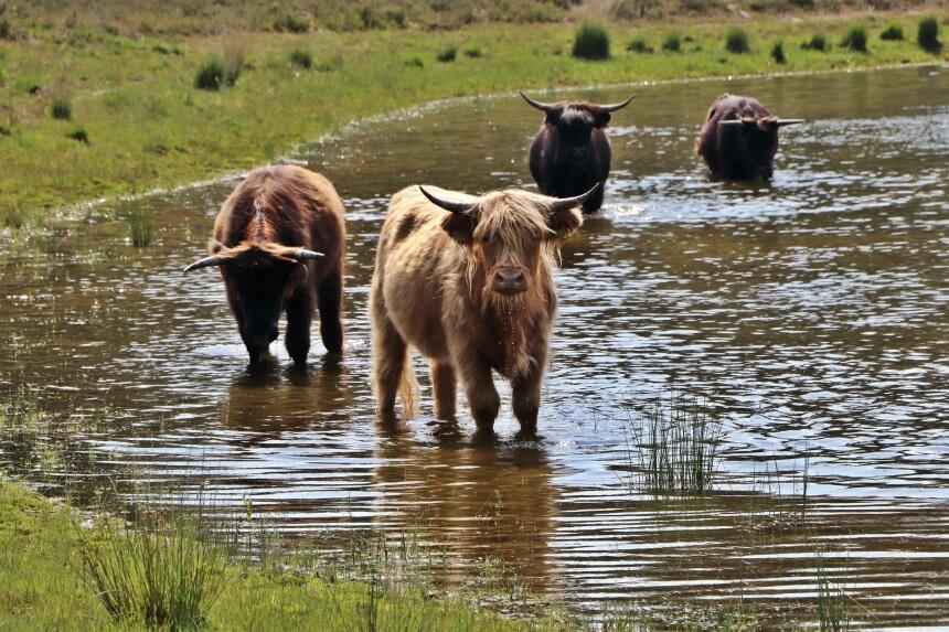 Wandelen met Schotse Hooglanders