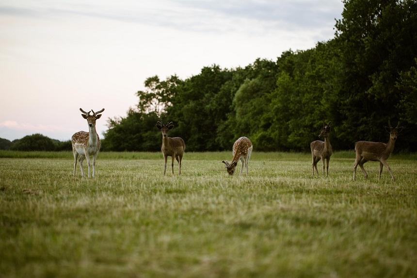 Herten spotten op de Haringvreter