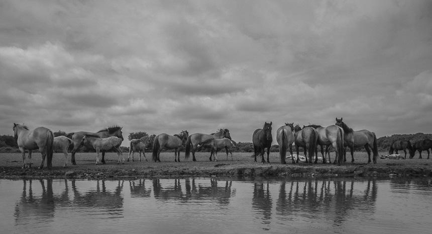 Konikpaarden op de Goudplaat