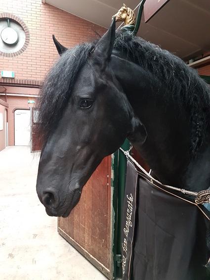 Zuidoost friesland friese paarden stoterij