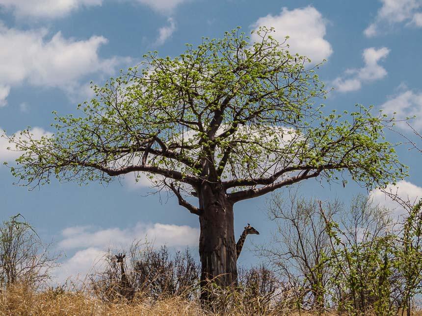 Op Safari in Ruaha - Baobabs en giraffes