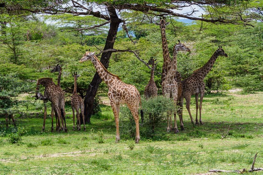Op safari in Selous - genoeg giraffen
