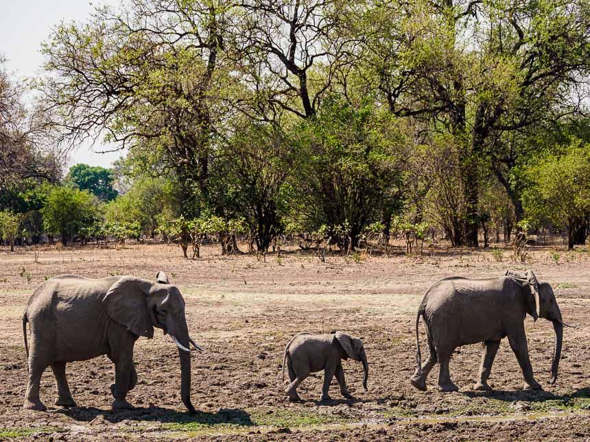 In South Luanga zijn kleine kuddes regel