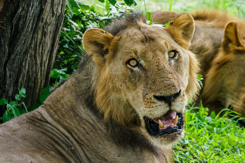 Leeuwen volop in Selous, ontdek de mooiste onbekende wildparken