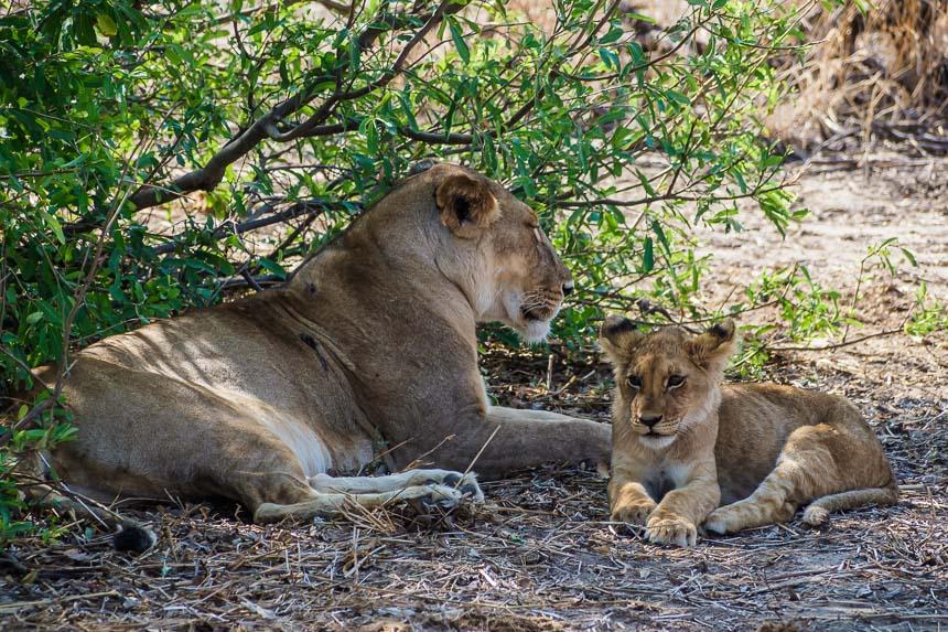 Op Safari in Ruaha - Leeuwenwelp