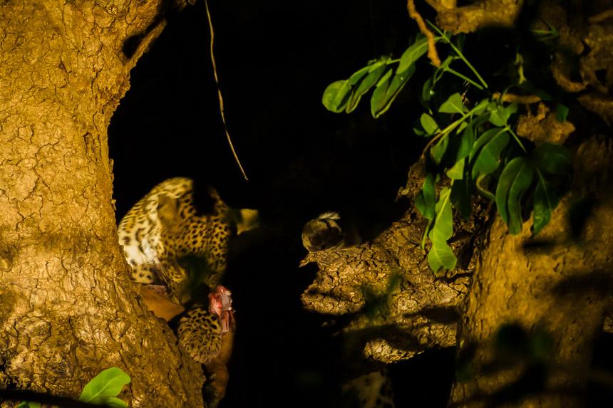 Op nacht safari in South Luanga - Luipaard met prooi