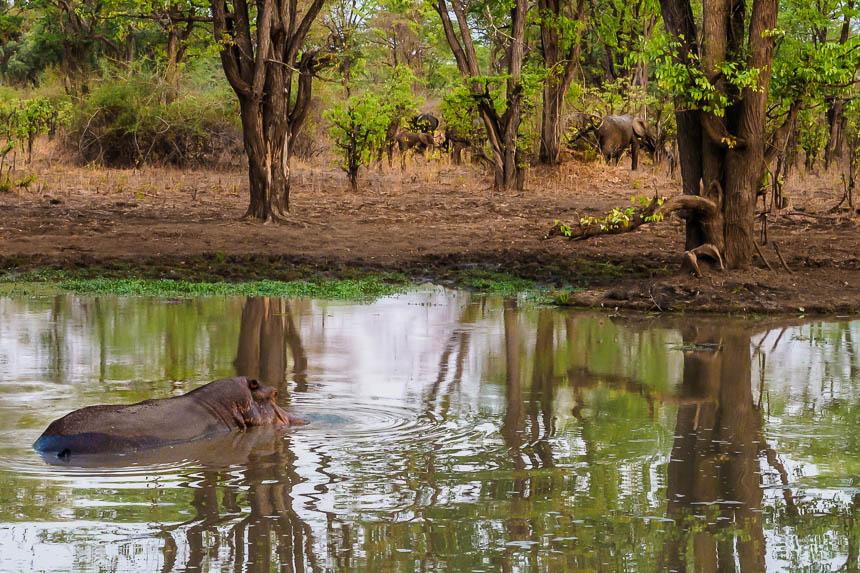 Op Safari in South Luanga - nijlpaarden en grazende olifanten