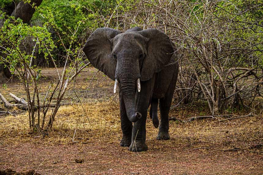 Opgewonden jonge olifantstier