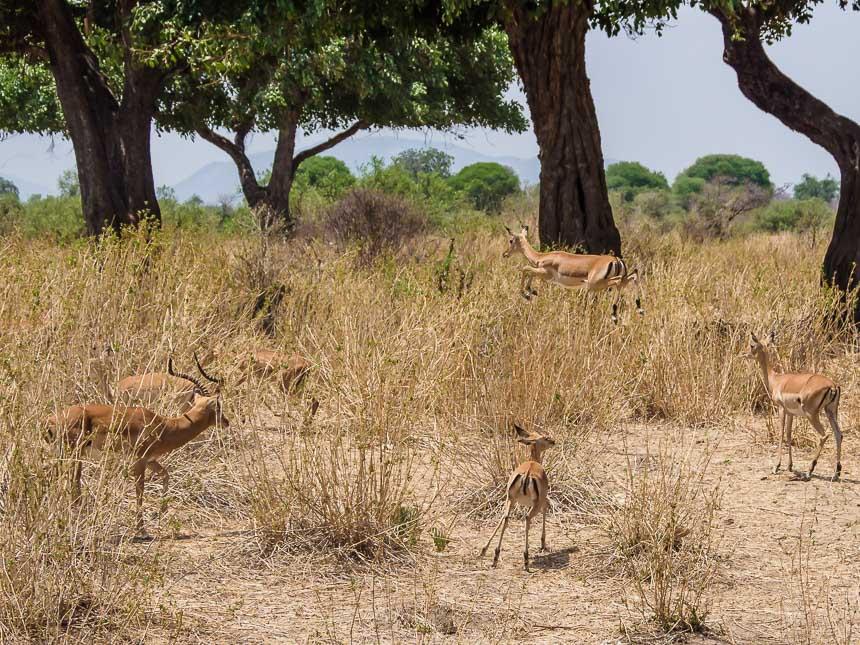 Ruaha, een van de drie onbekende wildparken - Springende gazellen