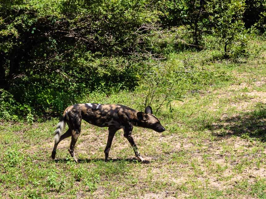 Op safari in Selous kun je wilde honden zien, mooi zijn ze niet