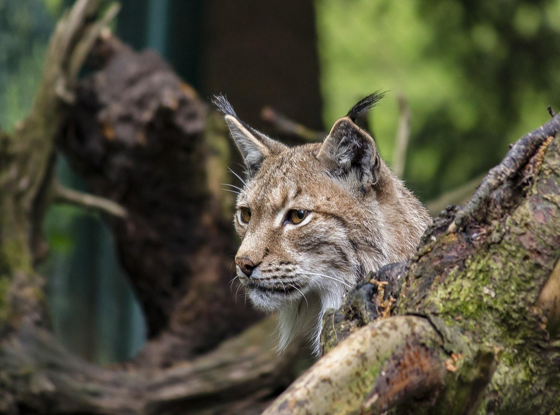 lynx Podlaskie