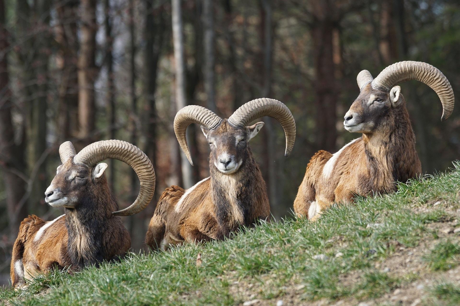 mouflon polen
