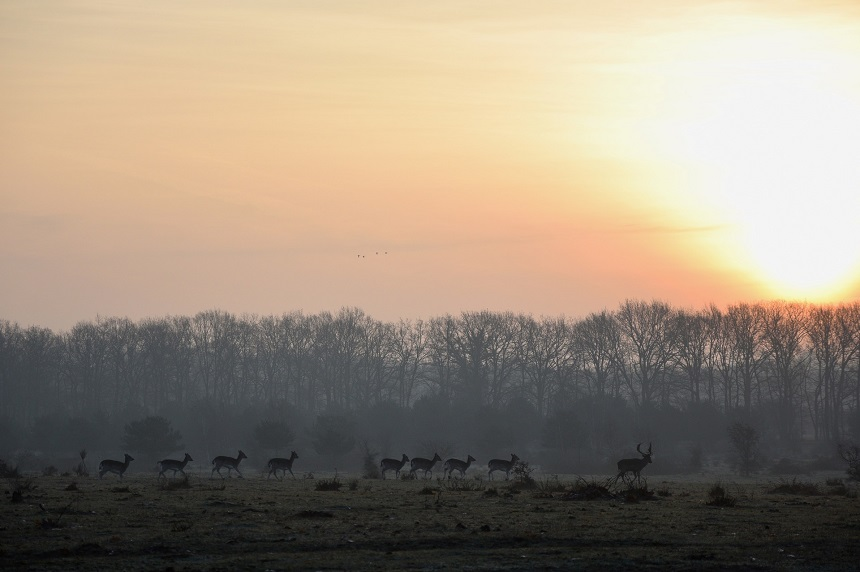 Elst, herten bij zonsopkomst