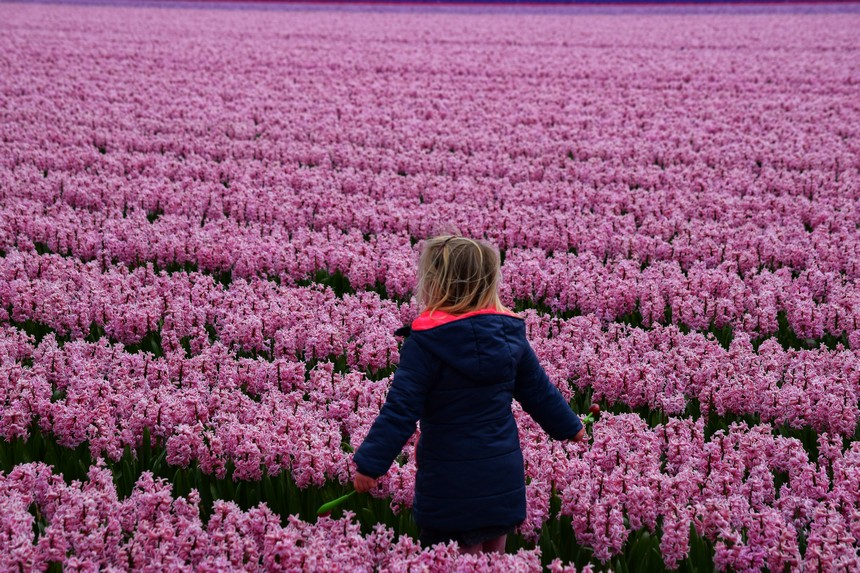 Fields full of hyacinths