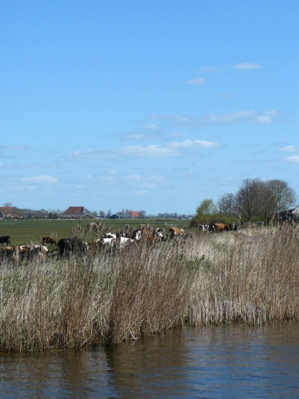 Friesland: koeien en boerderijen