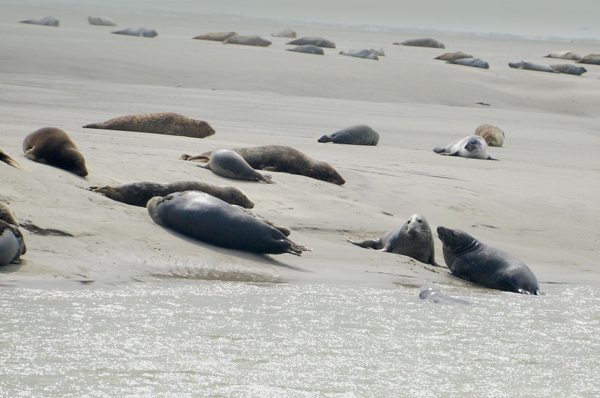 the bay of Authie, a place where seals like to come