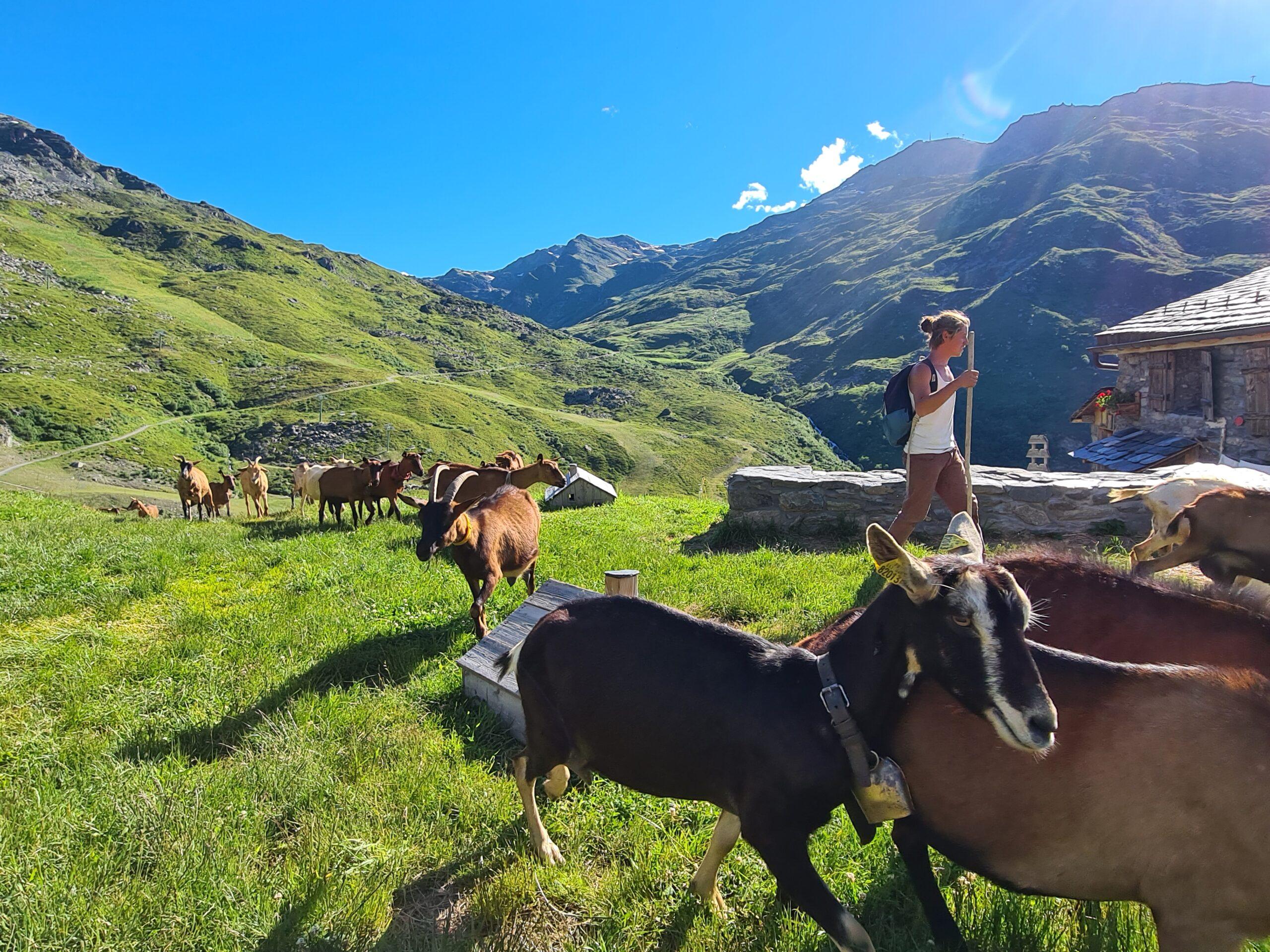 Ervaren herders begeleiden de geiten van de boerderij Chez Pépé Nicolas