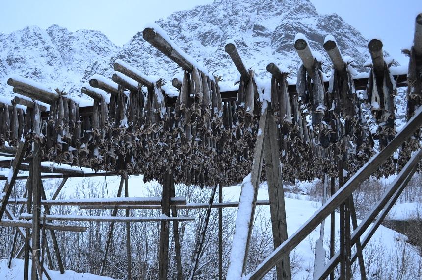 Stokvis op de Lofoten