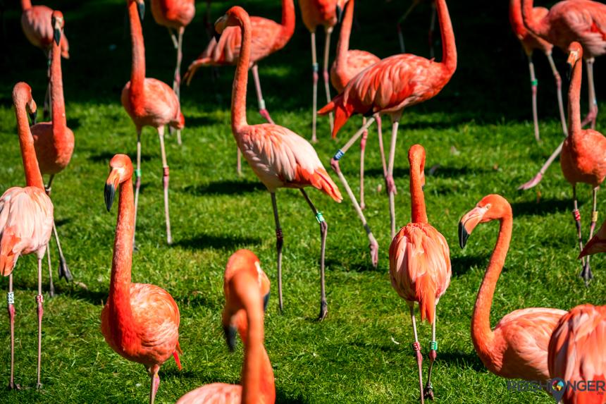 Flamingo's Kölner Zoo