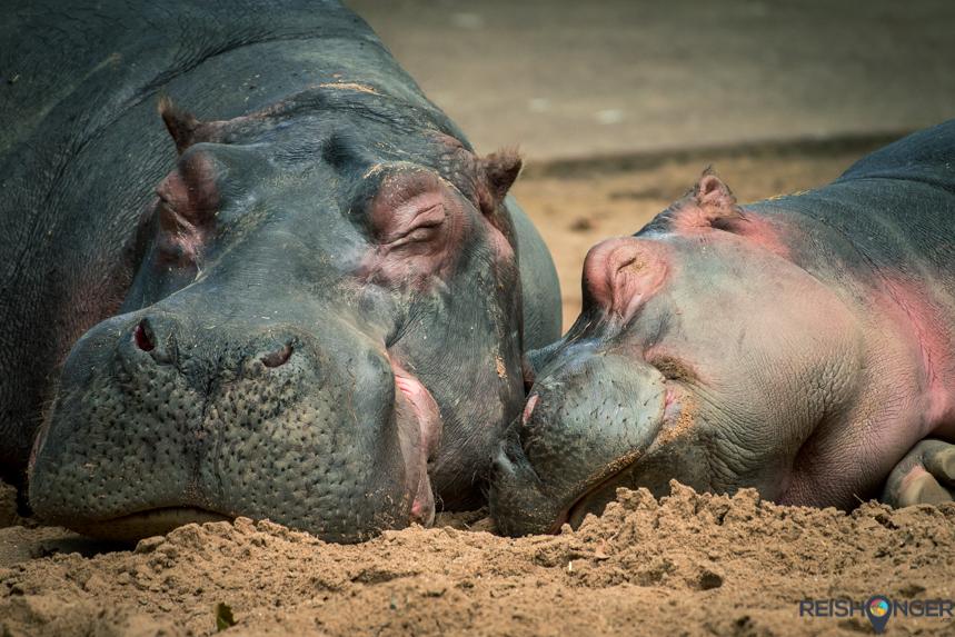 Nijlpaarden dierentuin Keulen