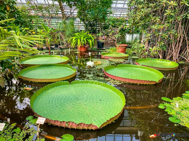 Victoria amazonica (Reuzenwaterlelie) is de grootste waterlelie ter wereld