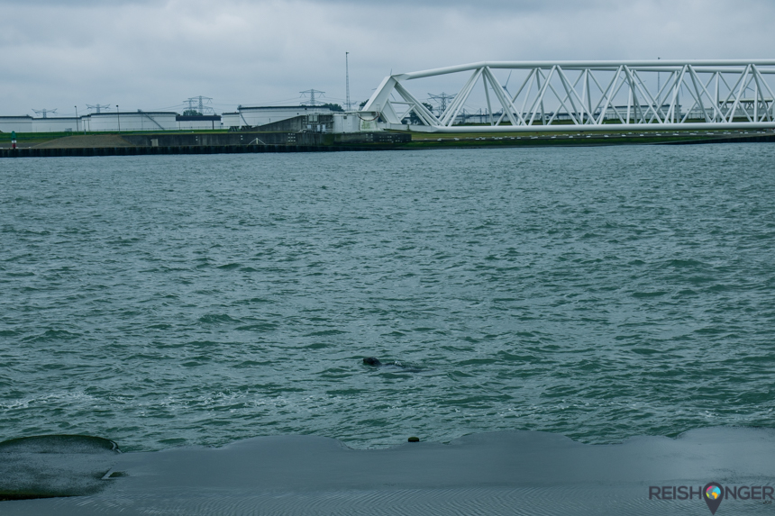 Zeehond in de Nieuwe Waterweg met de Maeslantkering
