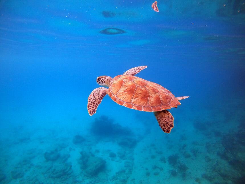 Snorkelen met schildpadden op Curacao